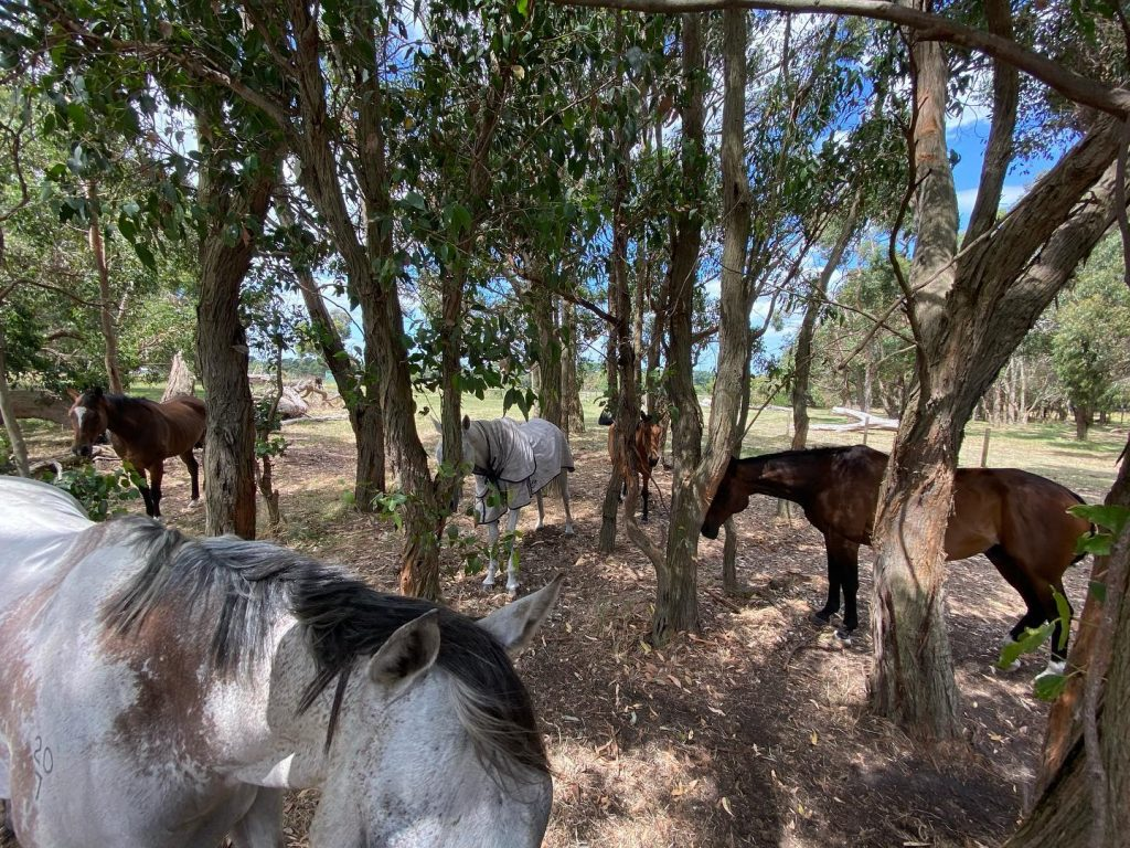 Horses enjoying the shade of a forest