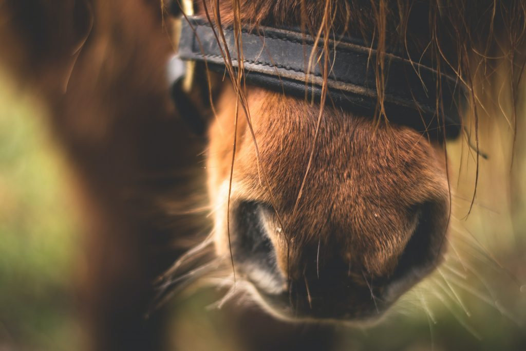 close up of horse nose